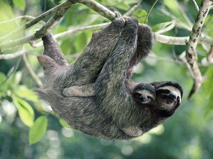 1363293346_Brown-Throated Three-Toed Sloth, Panama