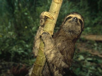 three-toed-sloth1