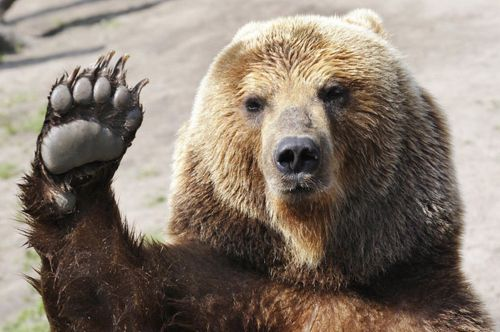 Brown-bear-female-and-its-children-play-with-a-ball-in-Kamchatka-Peninsula-Russia-8012761