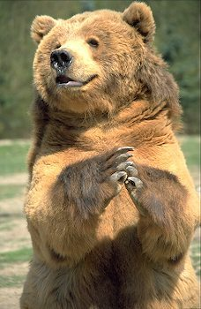 Religious grizzly bear says its prayers