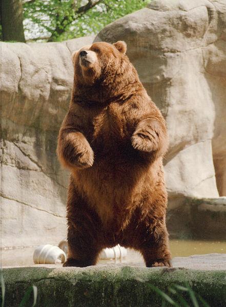 Brown_bear_rearing2