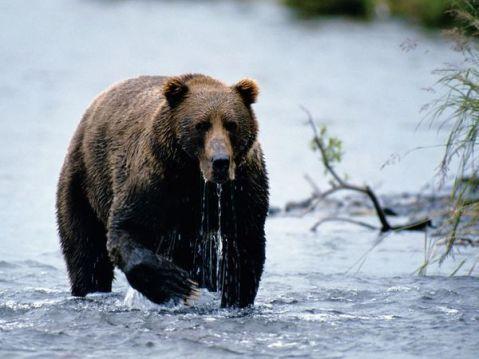kodiak-bear_775_600x450